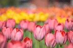 Tulips at Kamiyubetsu