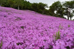 Pink moss at Takinoue