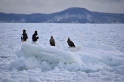 Eagles on ice pack