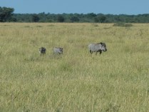 Warthog mama and babies