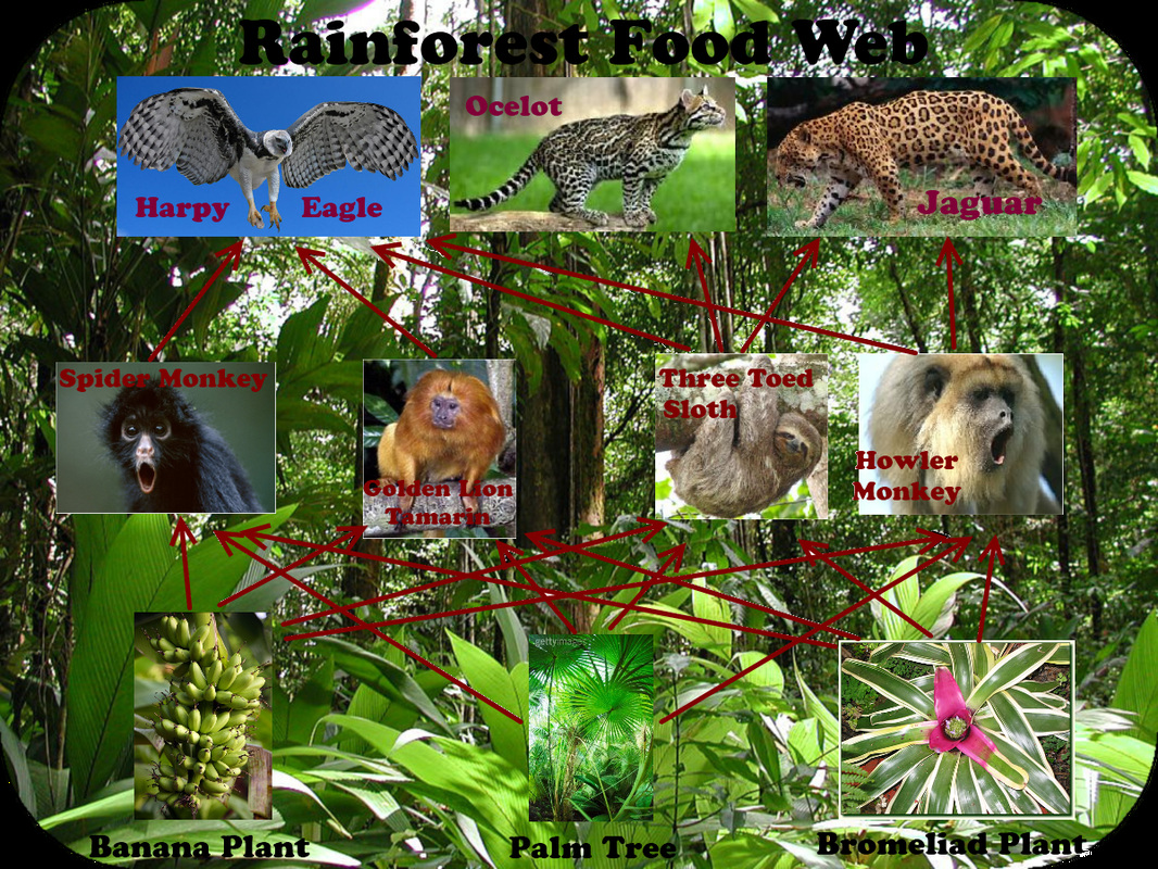 tropical rainforest food web diagram 2004 ford explorer ignition wiring with explanation rain forest