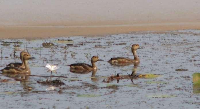 CARAMBOLIM LAKE BIRD SANCTUARY DUCKS