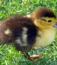 muscovy-young-duckling