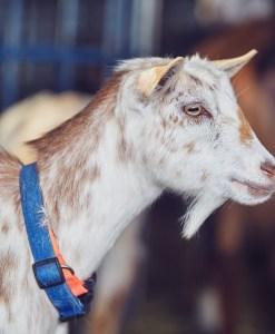 Goats__CM_0156