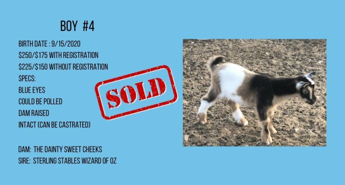 Boy baby goat for sale