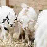 Goat Yoga-36