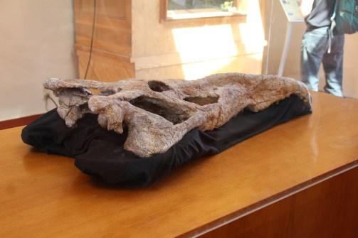 Smilosuchus fossil skull