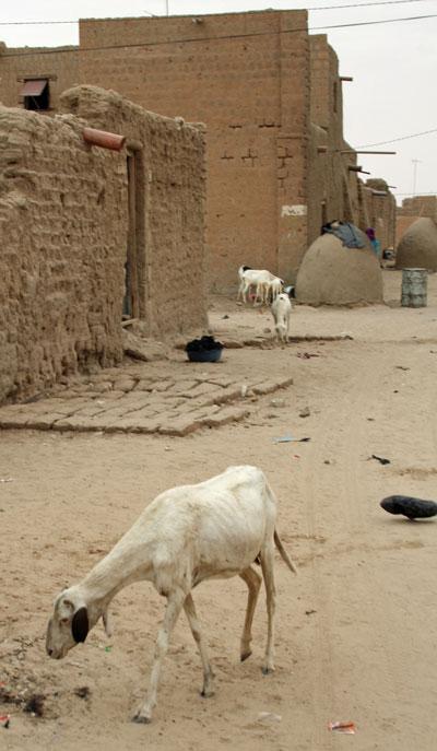 timbuktu-goat