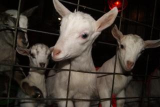 WWOOF'ing It On A Dairy Farm