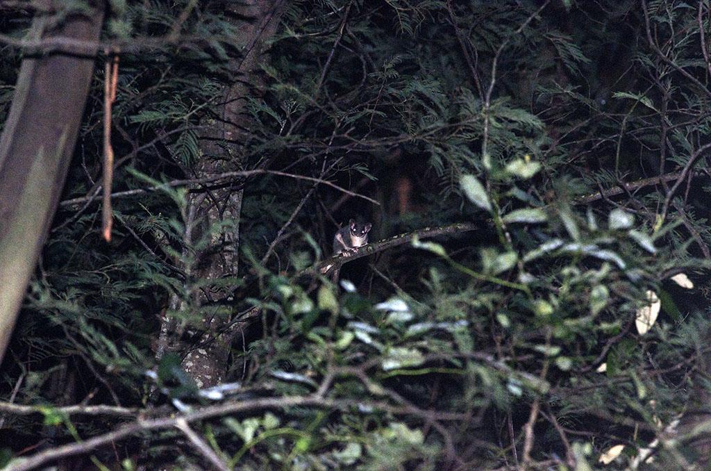 Leadbeater's Possum in regrowth near Powelltown