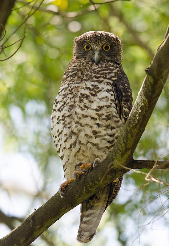 Powerful Owl at Shepherd's Bush, Glen Waverley