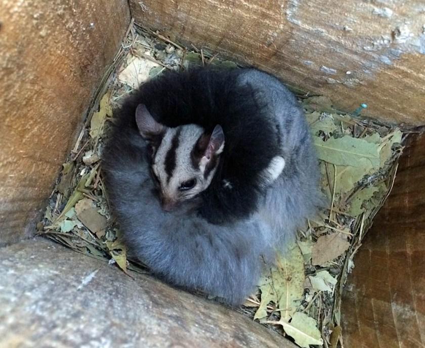 Squirrel Glider on a Lurg Hills nestbox survey day