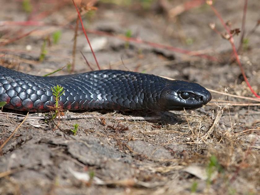 Red-bellied black snake
