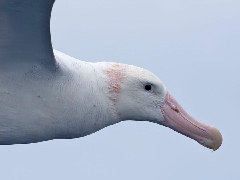 Wandering Albatross + sea lice