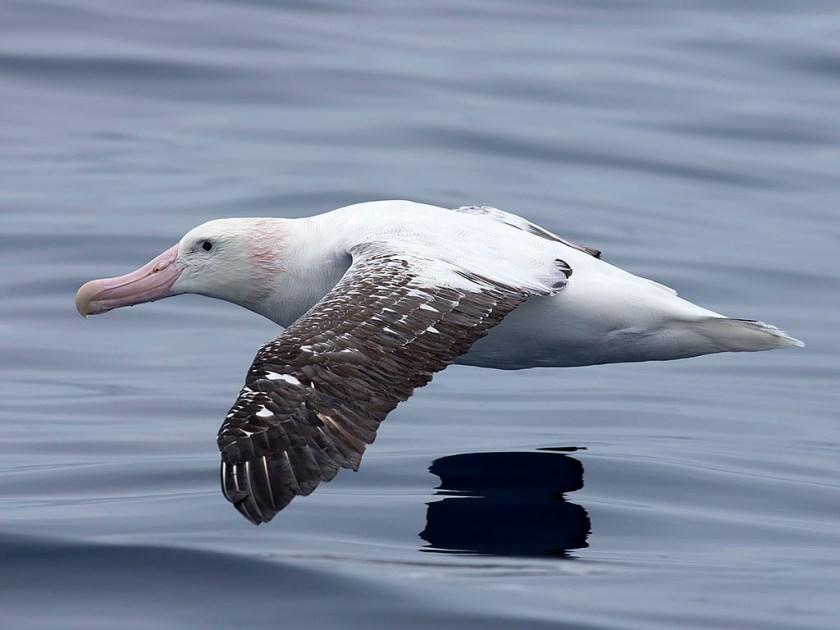 Wandering Albatross cruising by