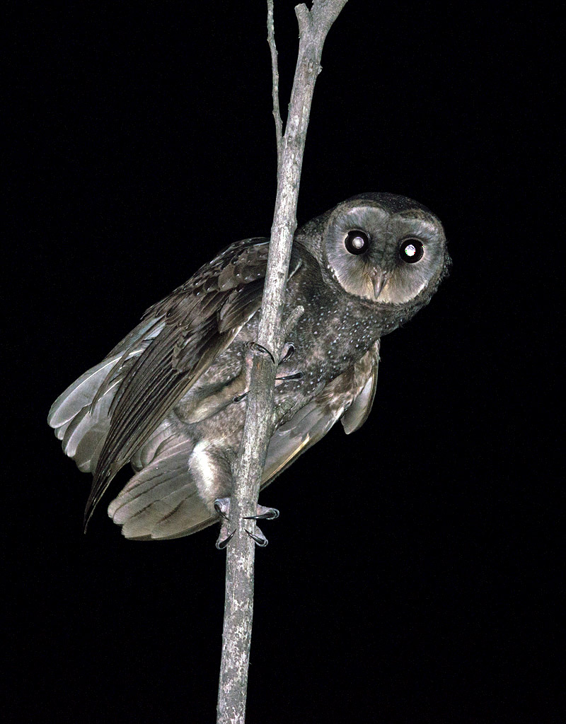 Sooty Owl - taken last year in same location