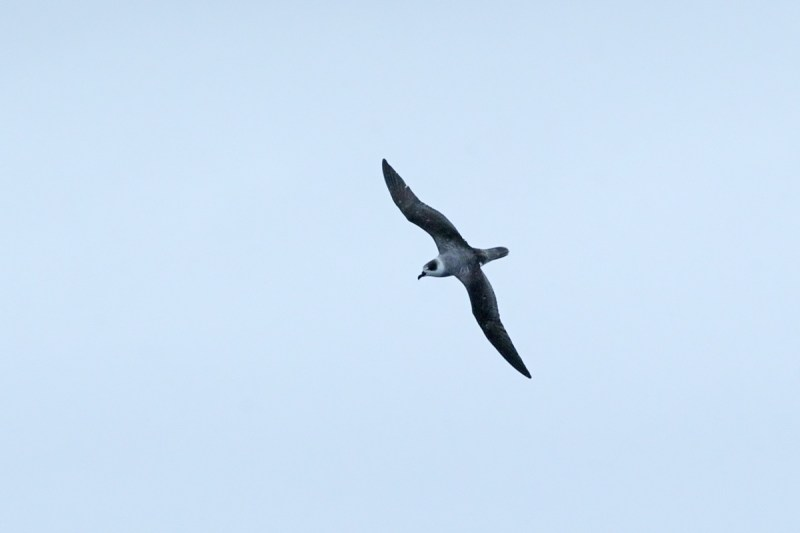White-necked Petrel courtesy of Rohan Clarke - http://www.wildlifeimages.com.au/