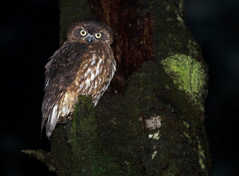 Southern Boobook - darker upland bird