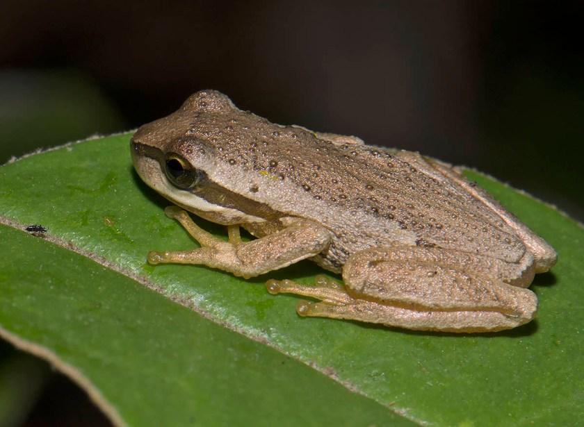 Litoria ewingii - recent morph