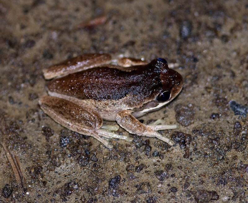 Litoria ewingii - Tasmanian animals sound slightly higher