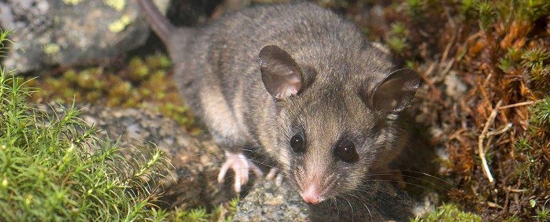 Mountain Pygmy-possum - Kosciusko NP