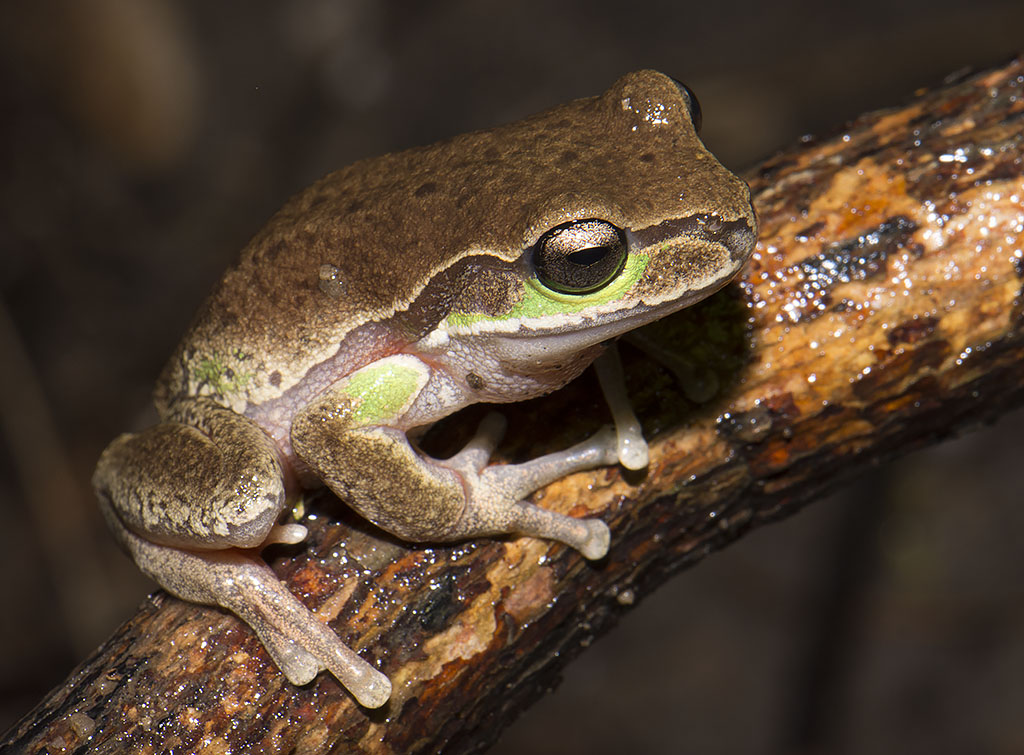 Litoria citropa