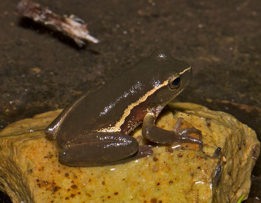 Litoria nudidigita - Harrison Creek