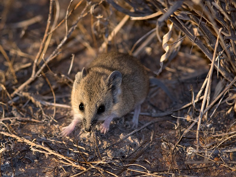 Fat-tailed Dunnart - Deniliquin area