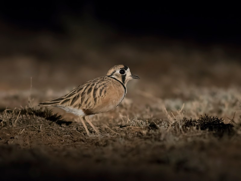 Inland Dotterel - Deniliquin area
