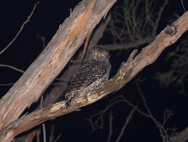 Powerful Owl - Bunyip State Park