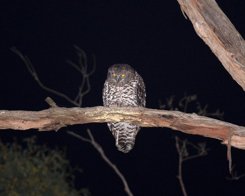 Powerful Owl - Bunyip State Park