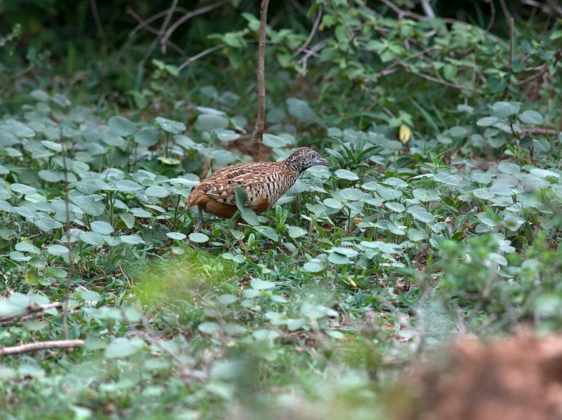 Barred Button-quail