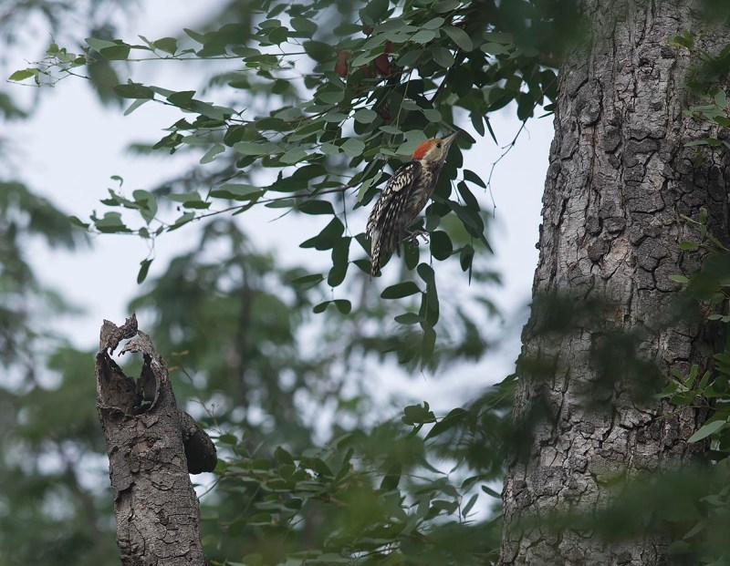 Yellow-crowed Woodpecker