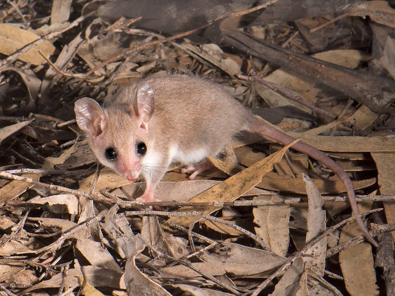 Western Pygmy-possum