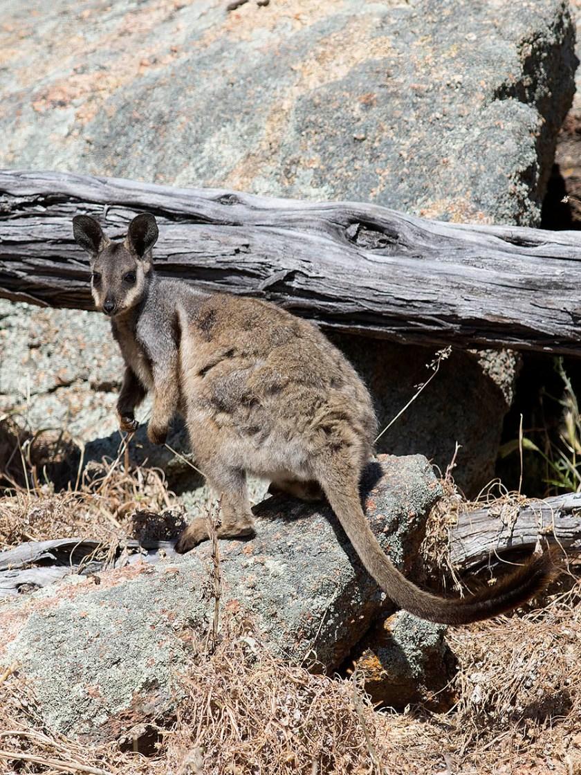 Black-footed Rock-wallaby - Mount Caroline NR