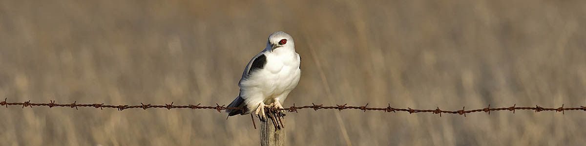 Letter-winged Kite