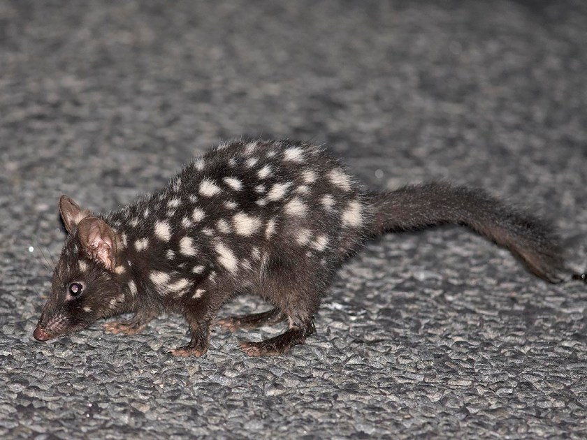 Cheating a bit - here's a dark Eastern Quoll from earlier in the year