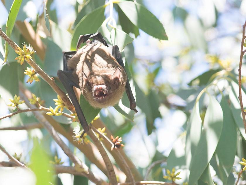 Eastern Falsistrellus - Bombala, NSW