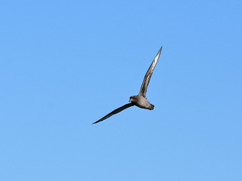 pelagic – Go Birding
