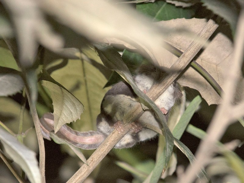 Narrow-toed? Feather-tailed Glider