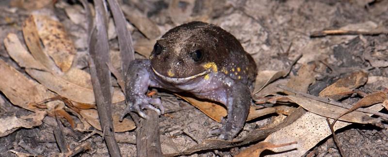 Giant Burrowing Frog - Heleioporus australiacus