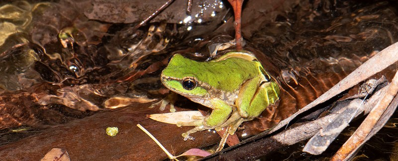 Litoria spenceri