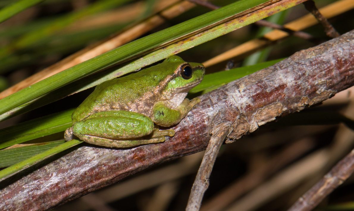 Spotted Tree Frog - Litoria spenceri