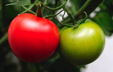 tomate1417