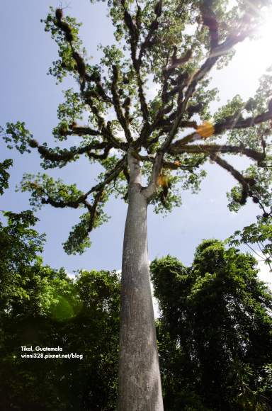 The Ceiba Tree