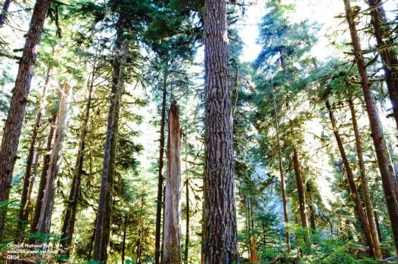 Old Growth Forest in Sol Duc Valley
