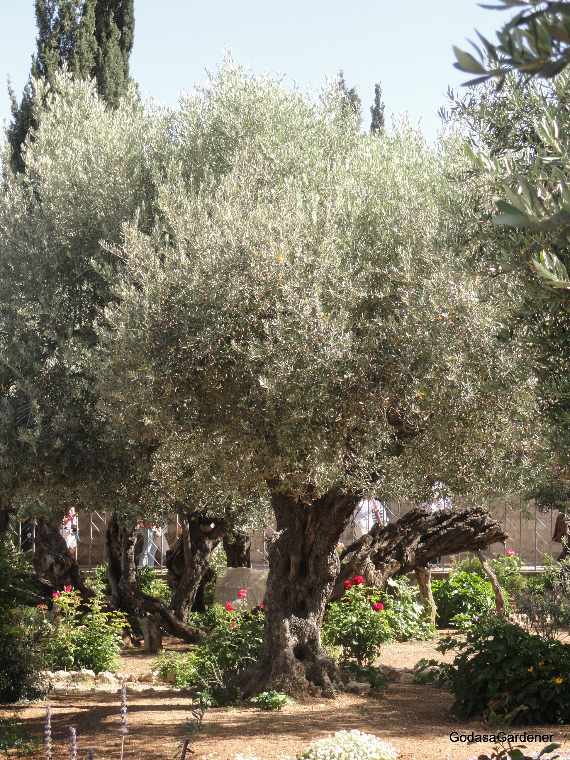 Ancient Lampstand Olive Tree In The Tabernacle | God As A Gardener