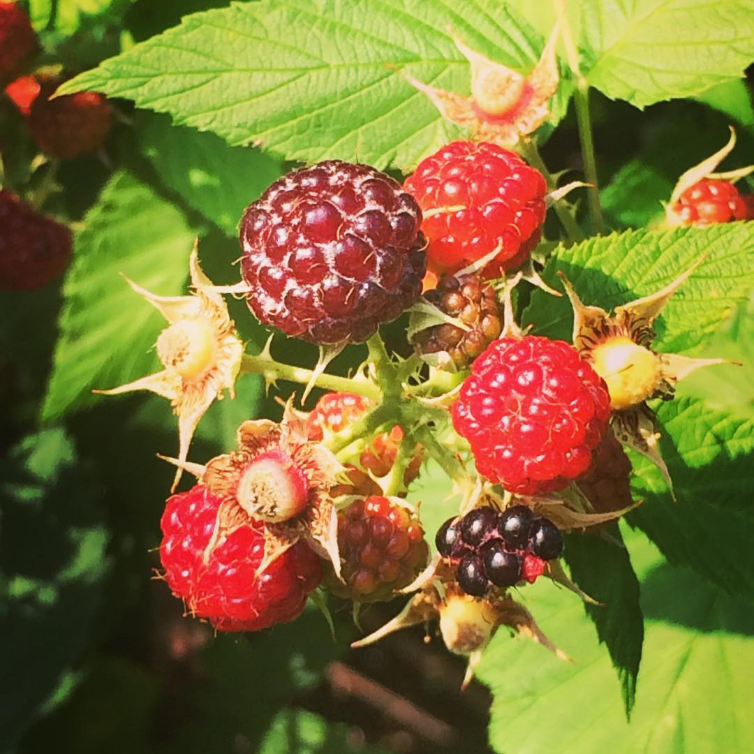 Wild raspberries growing along side my favorite nature trail. Nature's candy #vegan #cleaneating
