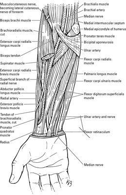 Hand Diagram Ligaments Les Nerfs Et Les Veines Dans Le Coude Et L Avant Bras