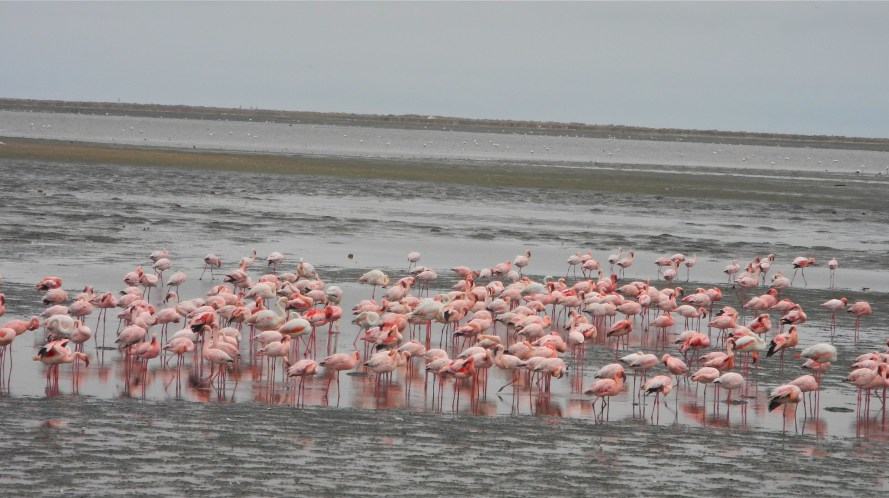 in the afternoon, Frikkie continues the Walvis Bay tour - here is a flock of greater flamingos in a wetlands area